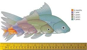 Fantail Goldfish Growth Chart Goldfish Im Hoping To Prove This Chart Wrong With Some Of