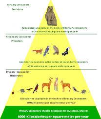 world builders  deciduous forest energy pyramid e viau csula