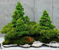 office bonsai tree. Exellent Bonsai Big Sale50 SeedBag Juniper Bonsai Tree Potted Flowers Office  Purify The In Office Bonsai Tree I