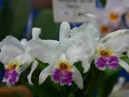 フラワードーム2004 あいち花フェスタ・名古屋国際蘭展 カトレヤ原種 Flower Dome 2004 Cattleya Species