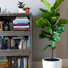 Fiddle Leaf Fig Care   Growing Guide, How To Pot Plants