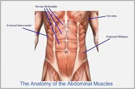 Photos Abdominal Muscles Chart Human Anatomy Library