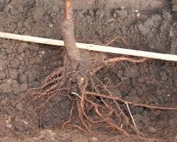 Hass Avocado Trees For Sale  Fast Growing TreesWhen Do You Plant Fruit Trees