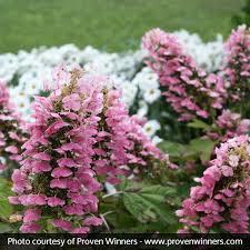 gatsby pink oakleaf hydrangea at