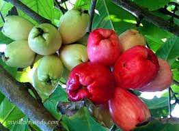 Cariibean FruitsJamaican Fruit Trees