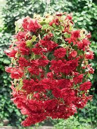 rous nia red flowers nia