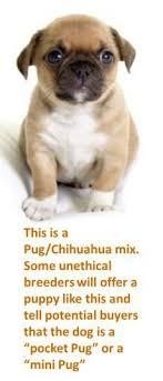 teacup pug full grown. Unique Pug Miniature Pug Dog Intended Teacup Full Grown N