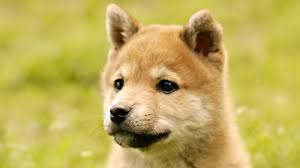 s dogs cute puppy akita inu desktop background high resolution wallpaper pictures dog free pets wallpapers