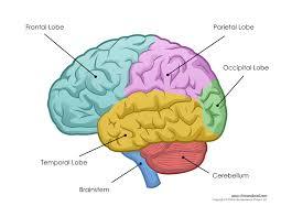 Brain Chart Free Brain Diagram Download Free Clip Art Free Clip Art On