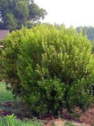 Large Growth: Wax Myrtle Austin Texas Landscaping - Design, Installation,  Irrigation, Stonework for Cen… | Texas landscaping, Texas native plants,  Water wise plants