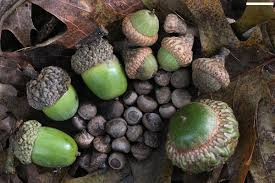 Oak Tree Comparison Chart Acorn Wikipedia