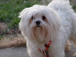 silky dog white. maltese dogs are some of the cutest toy in canine world. this breed small with a long white silky hair. dog s