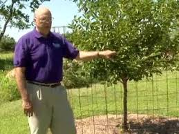 Protect Fruit Trees From Deer  YouTubeKeep Deer Away From Fruit Trees