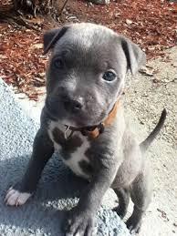 terrier pitbull puppies. Beautiful Puppies Terrier Puppies Pitbull Puppy For Puppies L