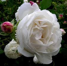 Rose U0027Strawberry Hillu0027 AusriminiFragrant Rose Plants