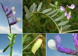 Vicia cassubica L. - Sistema informativo sulla flora vascolare dei ...