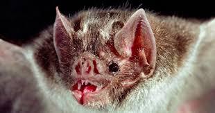 Vampire Bat,, Kelelawar Yang Gemar Menghisap Darah