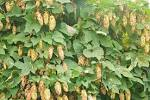 Images & Illustrations of common hop