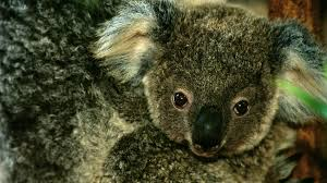 koala baby closeup joey ngsversion adapt jpg
