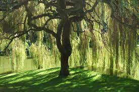 The Symbolism of the Willow Tree | The Willow Place for Women