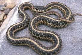 Georgia Snake Identification Chart Summer Season Is Also Snake Season In Georgia Local News