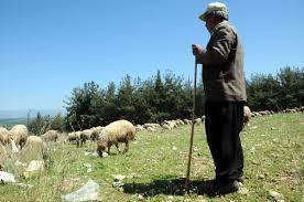 Osmaniye'de yayla hazırlığı: Koyunlar kırkılıyor