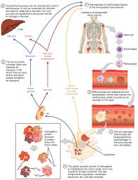 Diagram Of Blood Cells Wiring Diagrams