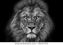 lion portrait black and white. Plain Black Lion Portrait Black And White With Background With Lion Portrait Black And White I