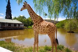oudtsn chandelier lodge giraffe