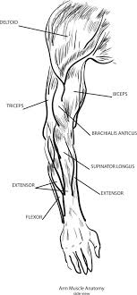 Exercise 1 close grip bench lay flat on a bench and use a narrow grip (12 inches apart) on a moderately weighted barbell. Two Jointed Muscles Of The Arms How To Train Them Breaking Muscle