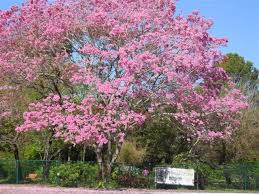 university of south florida botanical garden pinktab1