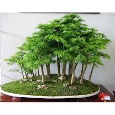 office bonsai. Beautiful Office Juniper Bonsai Tree Seeds Throughout Office A