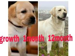 Labrador Retriever Puppy Weight Chart Labrador Growth 1month To 12month Youtube