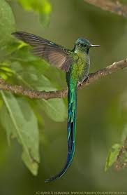 beautiful hummingbird. Delighful Hummingbird Longtailed Sylph Hummingbird The Males Of This Species Sport An Amazingly  Long Tail U2014 So That It Hampers Their Flight And A Male Has To Be  Intended Beautiful Hummingbird