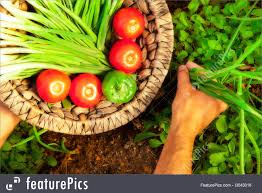 A Agriculture And Forestry A Home Gardener Harvesting Basket Of Summer  Garden Produce Varieties