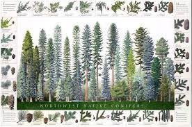 Tree Identification Chart Northwest Conifers Tree Poster Identification Chart