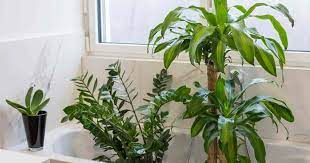 Indoor plants are beneficial in so many ways: 17 Best Bathroom Plants How To Use And Choose Low Light No Light