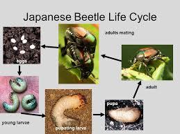 japanese beetles life cycle japanese beetle popillia japonica coleoptera scarabaeidae clemson