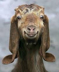 funny goat pictures 31 2