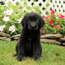 Newfie Puppy Growth Chart Golden Newfie Puppies For Sale Goldenacresdogs Com