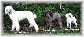 Aussiedoodle Size Chart 50 New Moyen Poodle Size Chart Home Furniture