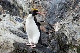 Pinguim-macaroni