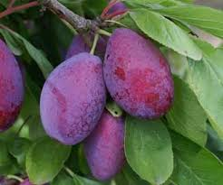 Plum Tree Pictures Images And Stock Photos  IStockPurple Plum Tree Fruit