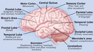 Brain Diagram And Functions Of Parts Brain Diagram And