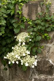 Guide To Climbing Clematis Plants  HGTVClimbing Plants That Like Shade