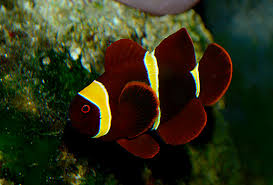black and yellow clown fish. Unique Black The Male Counterpart To The Female Gold Stripe Maroon Shown Above Note  Strongly Yellow On Black And Yellow Clown Fish F