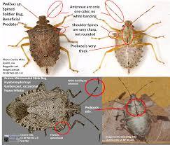 stink bug id corrected