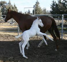 white baby horses playing. Fine Playing Cute White Baby Foal Horses To White Baby Horses Playing