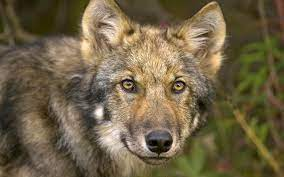 Closeup photo of sable wolf during ...