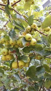 Deciduous Fruit Trees  Berkeley Horticultural Nursery Berkeley Iranian Fruit Trees